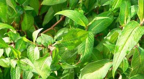 Bài thuốn chữa đầy bụng, mụn nhọt từ rau răm