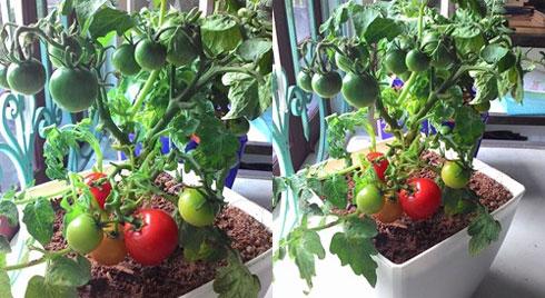Đặt 4 lát cà chua vào chậu đất, đúng 1 tuần sau bạn sẽ thấy ngay điều bất ngờ đến khó tin
