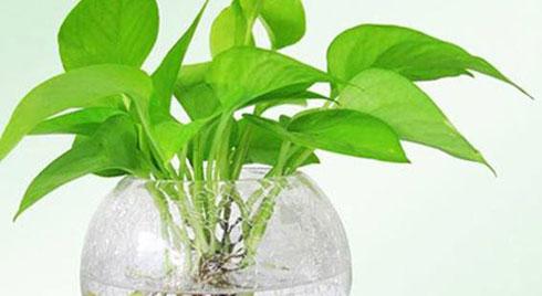 Loại cây phong thuỷ chỉ cần có nước là sống, vừa sạch không khí, vừa hút tài hút lộc
