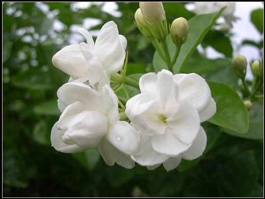 Tác dụng thanh nhiệt, giải độc, trừ ho tuyệt vời từ các loài hoa quanh nhà