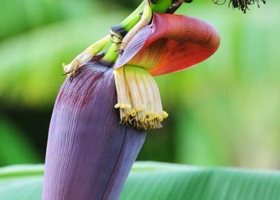 Tác dụng thanh nhiệt, giải độc, trừ ho tuyệt vời từ các loài hoa quanh nhà-2