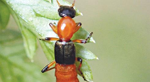 Mùa mưa: Coi chừng viêm da do kiến ba khoang