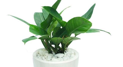 Mệnh Mộc hợp cây gì rước lộc vào nhà?