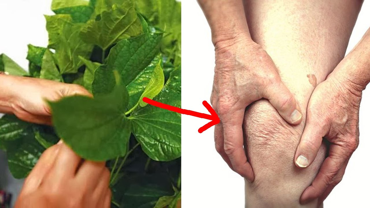 Tác dụng của lá lốt đối với bệnh xương khớp-3