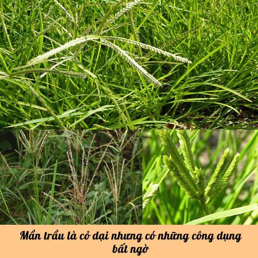 Những công dụng tuyệt vời từ cỏ mần trầu không phải ai cũng biết-1