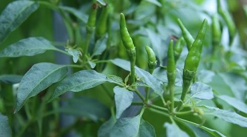 Lá ớt – vị thuốc quý quanh ta
