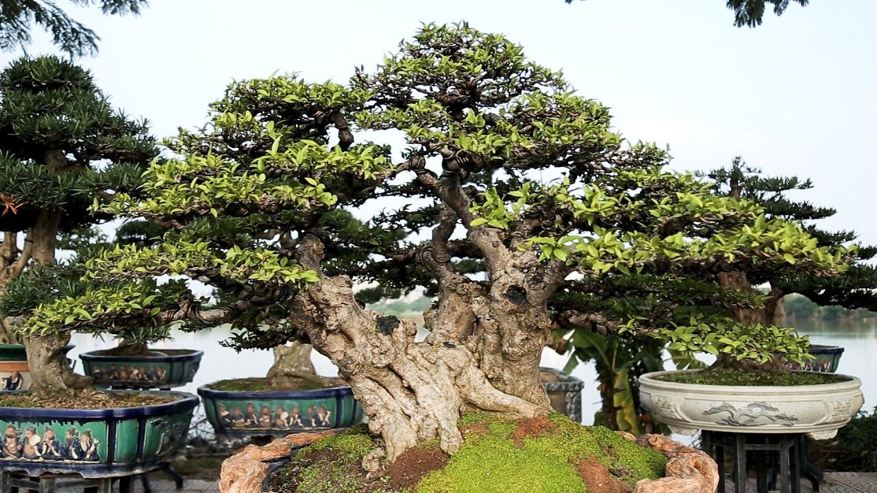 Ngắm cây mai chiếu thủy trăm tuổi giá gần tỷ