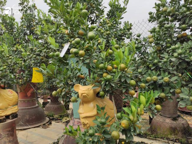 Nhà vườn hốt bạc nhờ những chậu bonsai chuột cõng quất-3