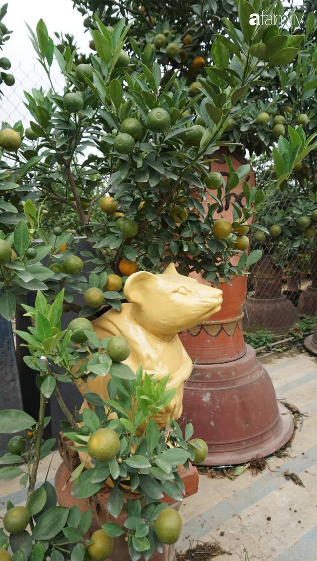 Nhà vườn hốt bạc nhờ những chậu bonsai chuột cõng quất-7