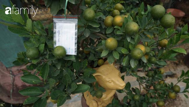 Nhà vườn hốt bạc nhờ những chậu bonsai chuột cõng quất-9