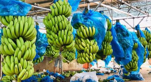 Tiểu thương nhét túi vài chục triệu nhờ buôn chuối xanh 4k/kg tháng giáp Tết