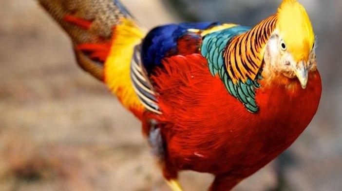 Giới nhà giàu săn lùng chim trĩ 7 màu giá 10 triệu/cặp chơi Tết