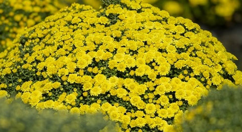 Cúc mâm xôi cháy hàng, giá cao kỷ lục tại làng hoa lớn