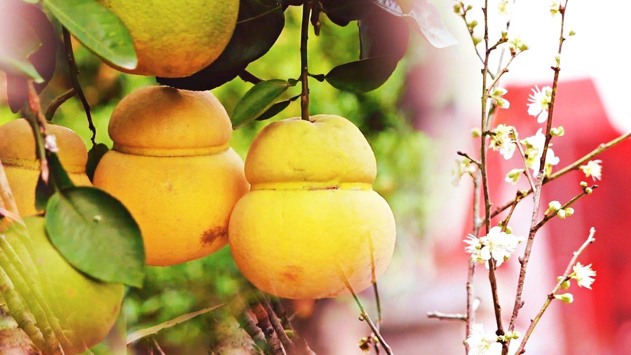 Săn hoa mơ rừng, bưởi bonsai hồ lô tiền triệu chơi Tết Canh Tý