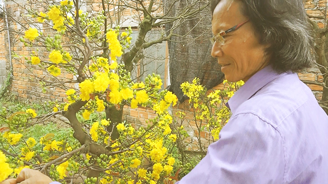 Nhà vườn Đà Nẵng khốn đốn mất mùa vì mai đua nhau nở sớm