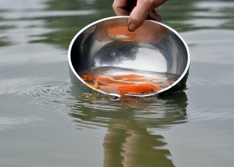 Nhiều người thả nhầm loại cá tiễn ông Công ông Táo, chuyên gia tư vấn cách làm chuẩn nhất-1