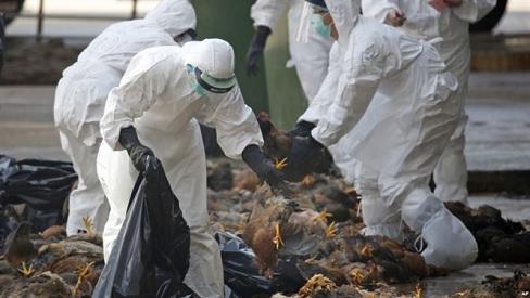 Triệu chứng và cách phòng ngừa cúm gia cầm A/H5N6