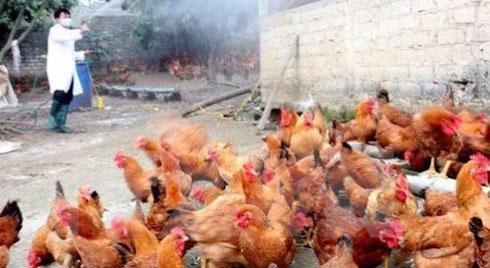 Cúm A/H5N6 trở lại, lệnh cấm bán tháo gia cầm ở vùng dịch