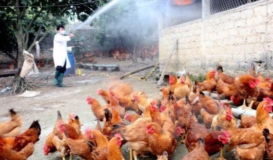 Cúm A/H5N6 trở lại, lệnh cấm bán tháo gia cầm ở vùng dịch-2