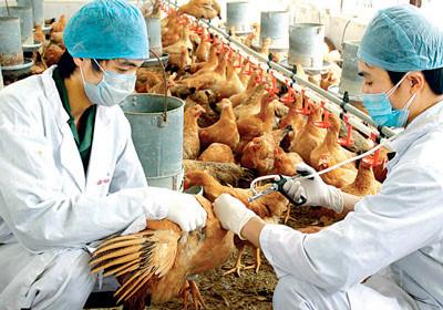 Triệu chứng và cách phòng ngừa cúm gia cầm A/H5N6-2