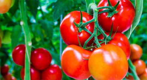 Những dấu hiệu chứng tỏ cà chua chứa