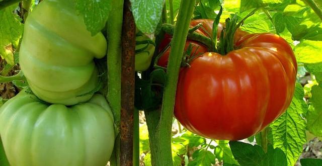 Những dấu hiệu chứng tỏ cà chua chứa độc tố, hãy nhanh chóng vứt đi-1