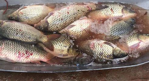 Bà chị chợ đầu mối tiết lộ bí mật cá chép nuôi gắn mác cá sông bán khắp chợ
