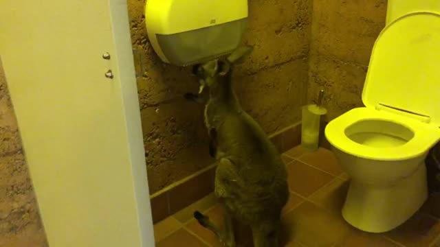 Thời Covid-19, chuột túi cũng 'chôm' giấy vệ sinh