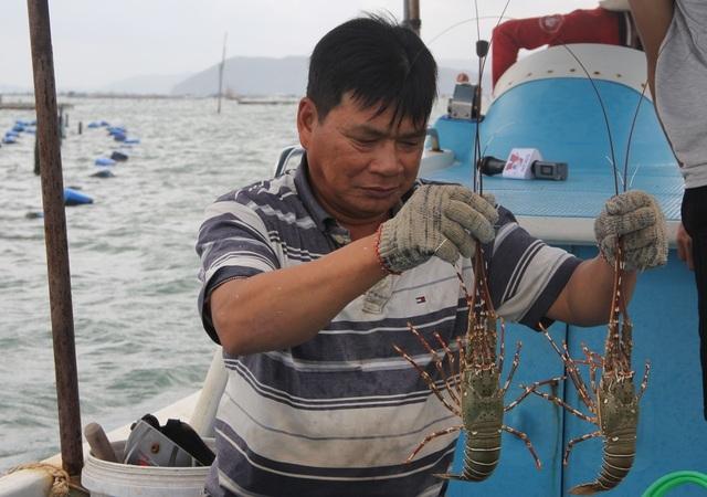 Thực hư thông tin giá tôm hùm Phú Yên giảm còn 200.000 đồng/kg-2
