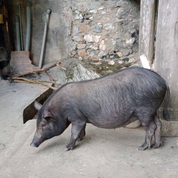 """Người dân không ngại mạnh tay đầu tư tiền săn lùng """"lợn cắp nách"""" ăn Tết"""