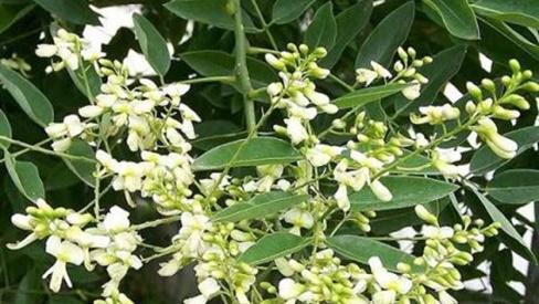 Vị thuốc quý từ cây hoa hòe
