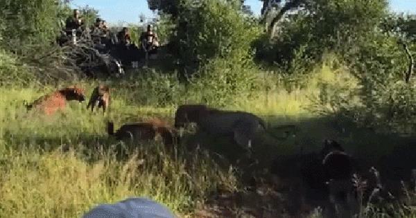 Sư tử cái bị 15 con linh cẩu bao vây tấn công, số phận nó sẽ ra sao?