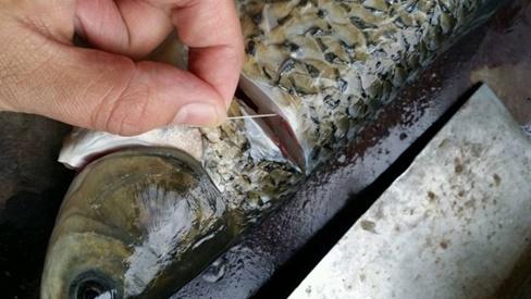 Không cần dùng giấm hay rượu khử tanh, chỉ cần rút sợi này khi mổ cá sẽ hết mùi