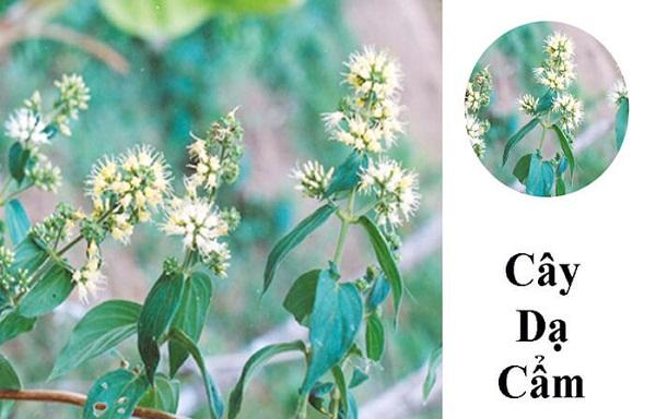Chữa bệnh dạ dày bằng 11 loại lá cây trong vườn nhà-9