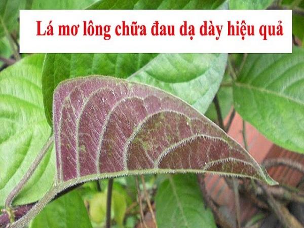 Chữa bệnh dạ dày bằng 11 loại lá cây trong vườn nhà-6