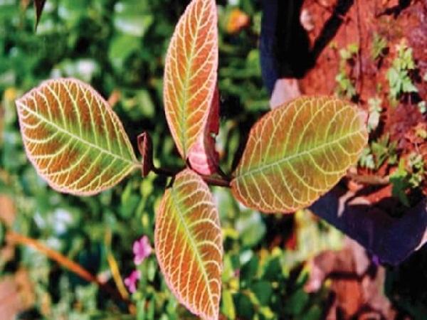 Chữa bệnh dạ dày bằng 11 loại lá cây trong vườn nhà-10