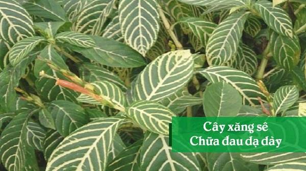 Chữa bệnh dạ dày bằng 11 loại lá cây trong vườn nhà-12