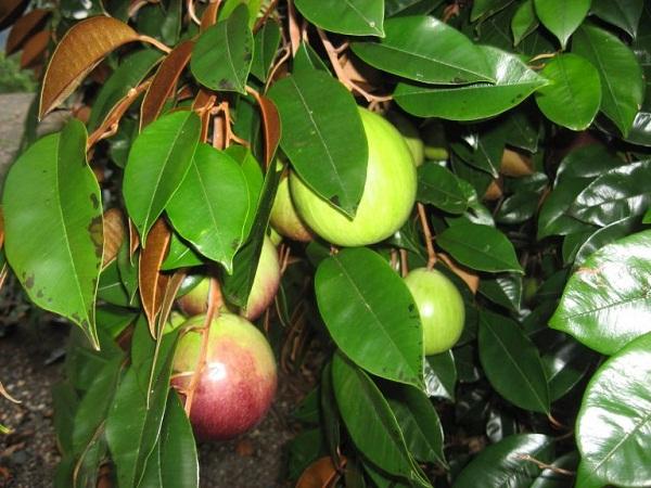 Chữa bệnh dạ dày bằng 11 loại lá cây trong vườn nhà-3
