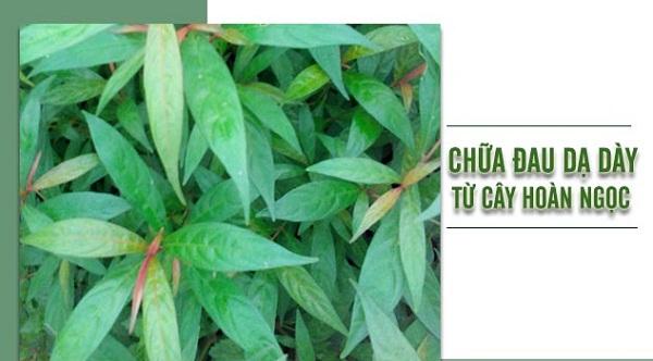 Chữa bệnh dạ dày bằng 11 loại lá cây trong vườn nhà-5
