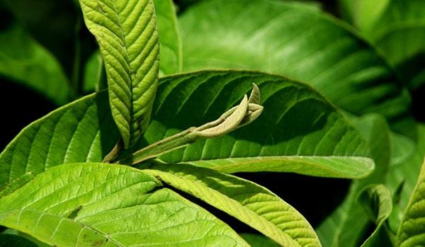 Chữa bệnh dạ dày bằng 11 loại lá cây trong vườn nhà-4