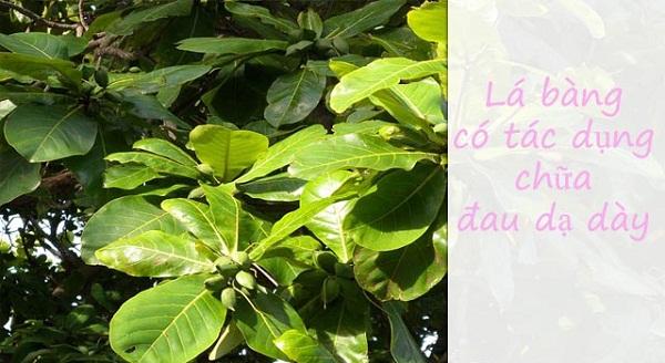 Chữa bệnh dạ dày bằng 11 loại lá cây trong vườn nhà-11
