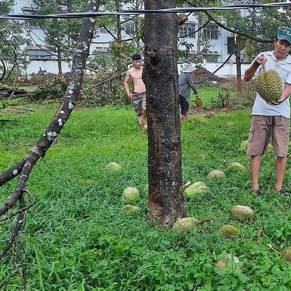 Đồng Nai: Mưa to, gió lốc thổi bay mái nhà, quật đổ nhiều cây ăn quả của người dân