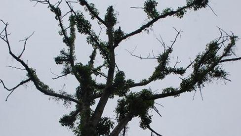 Tầm gửi cây gạo trị bệnh