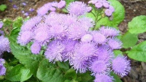 Bài thuốc dân gian chữa viêm mũi dị ứng từ cây hoa ngũ sắc