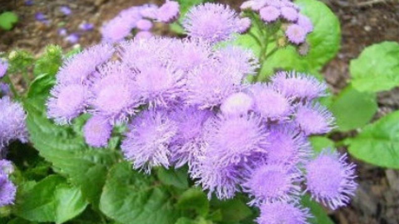 Bài thuốc dân gian chữa viêm mũi dị ứng từ cây hoa ngũ sắc-1