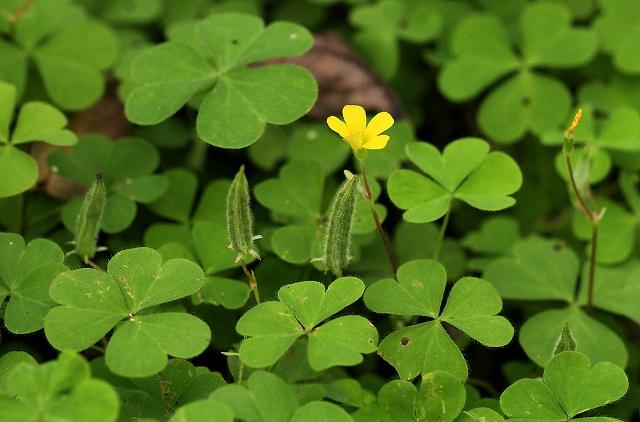 Bài thuốc chữa bệnh từ cây me đất hoa vàng-1