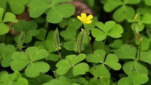 Bài thuốc chữa bệnh từ cây me đất hoa vàng