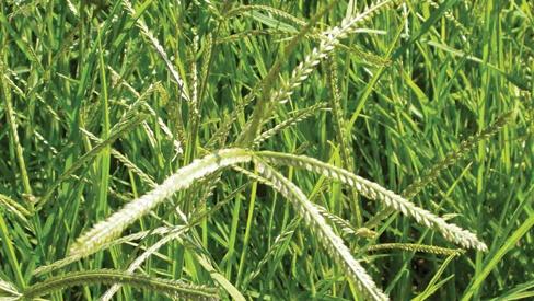 Lợi ích cỏ mần trầu đem lại cho mẹ bầu và các bé