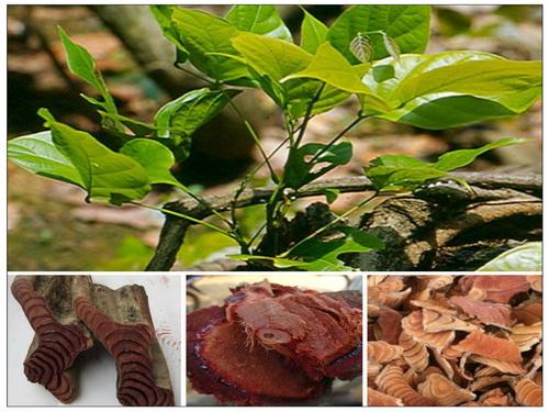 3 loại trà dược ngừa suy giảm tế bào máu