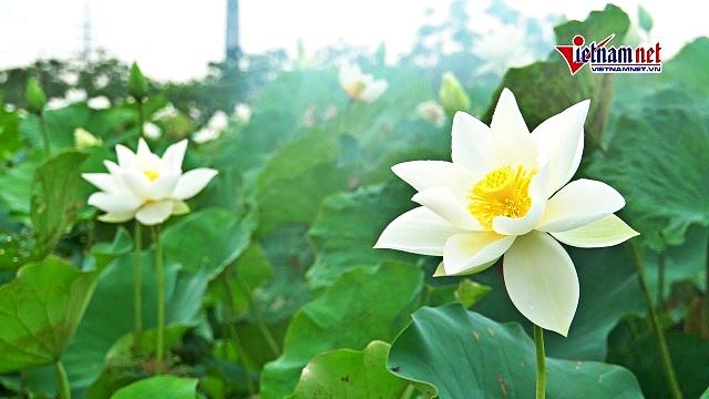 Đầm sen trắng hiếm có ở Hà Nội, khách kéo đến chụp ảnh từ 4 giờ sáng